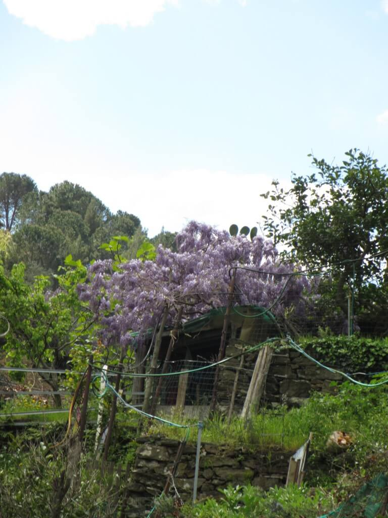 Wisteria spotted on the walk to Vernazza from San Bernadino