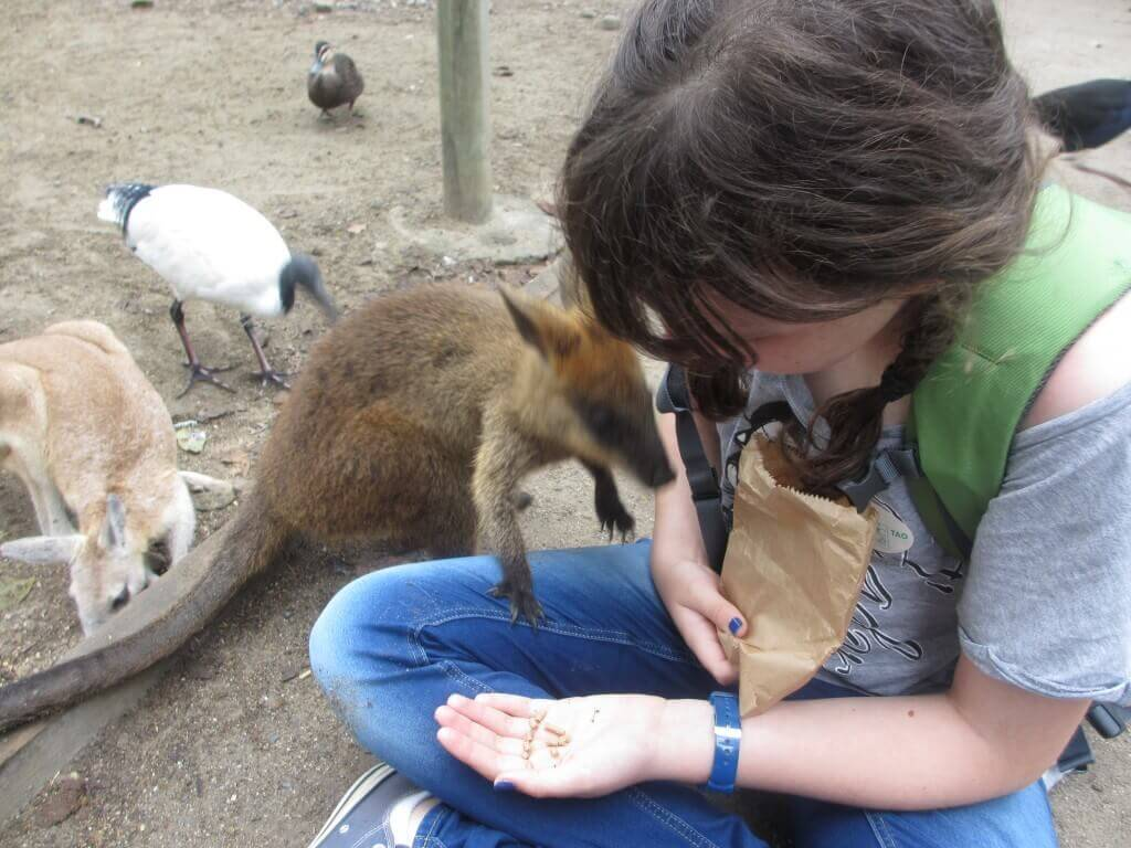girl in blue jeans handfeeding a kangaroo