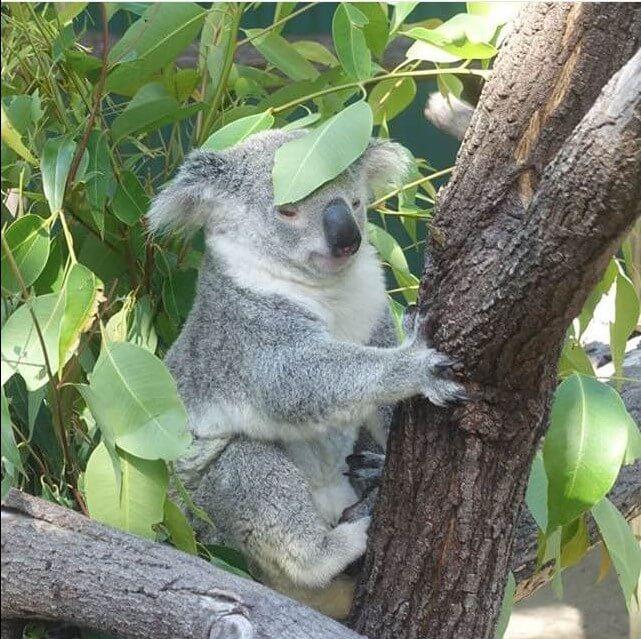 Koala, Port Douglas, Queensland