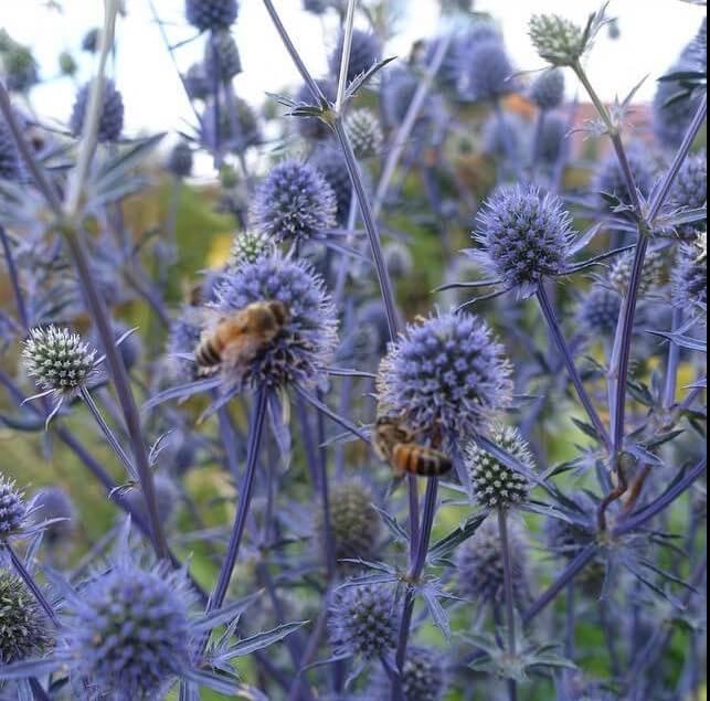 sea daisies and bees