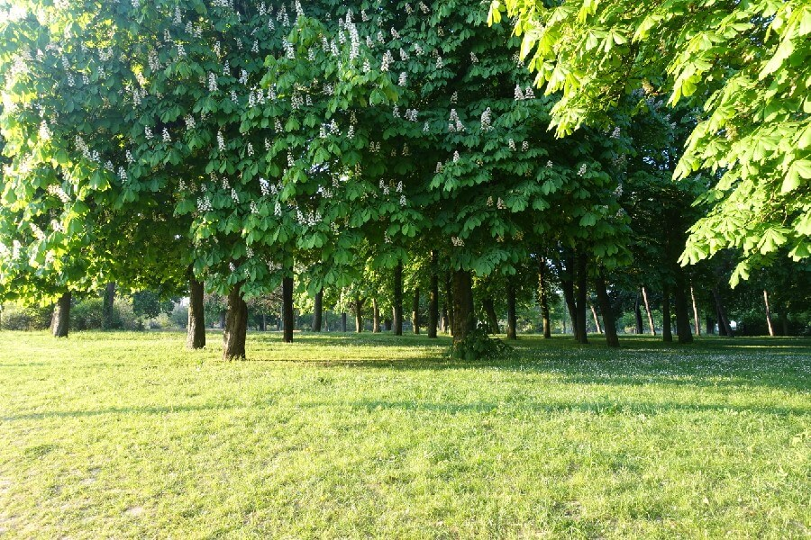 Horse chestnut trees in flower in Bois de Vincennes Paris