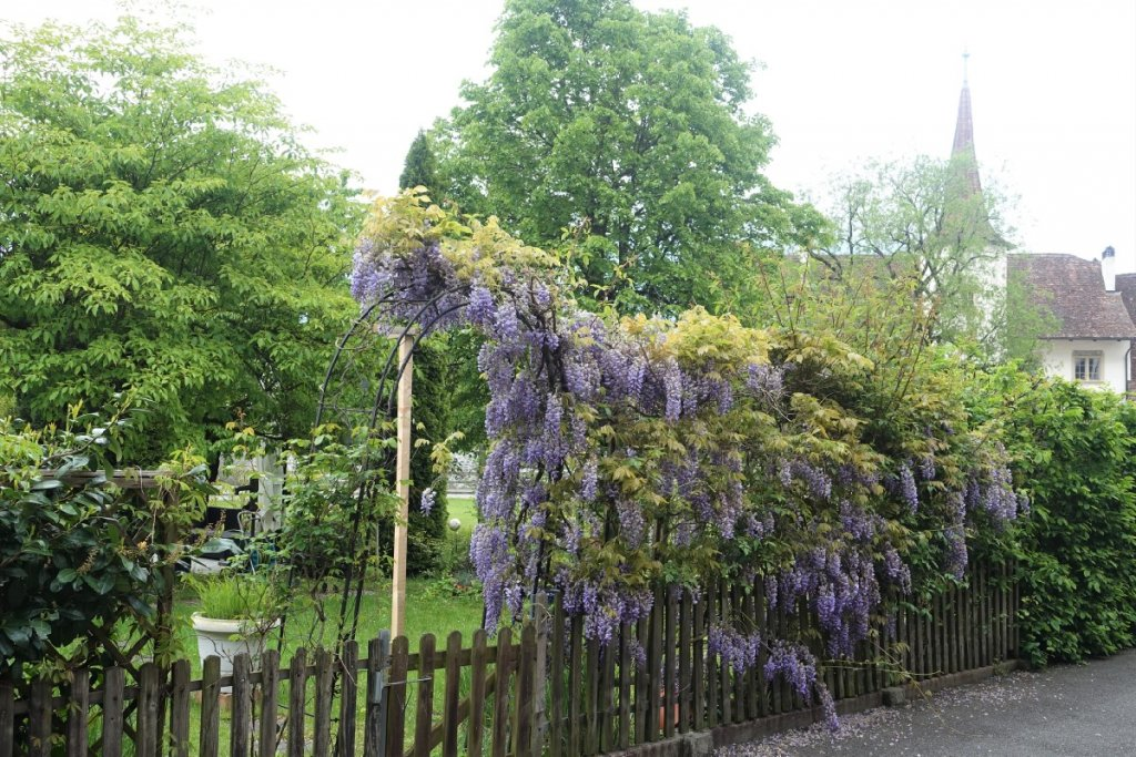 wisteria in a garden in Interlaken